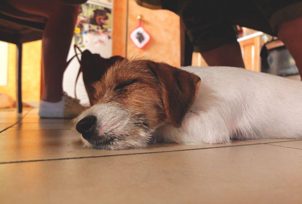Jack Russell del Cavaliere Nero che dorme