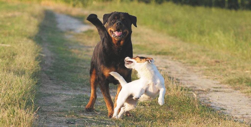 Rottweiler e Jack Russell del Cavaliere nero che corrono liberi in campagna