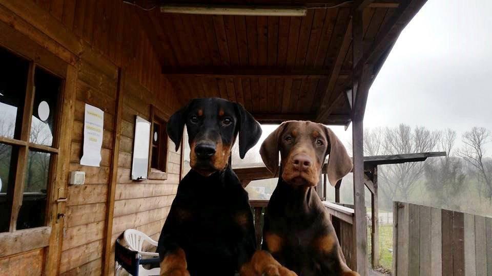 due cuccioli di dobermann dell'allevamento Della Ninfa Nobel