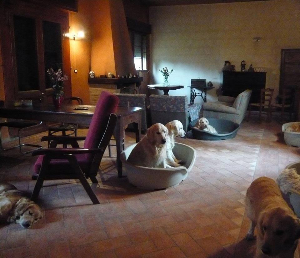 Il salotto nel quale abitano questi 12 Golden Retriever del Sogno Antico