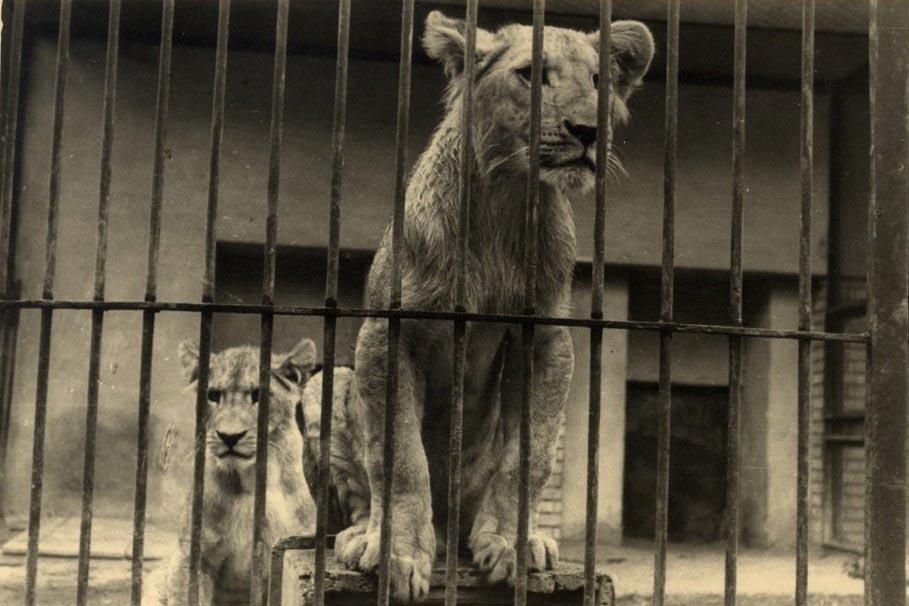 Due leoni di Bologna