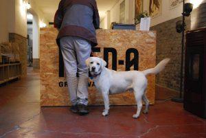 negozio di alimenti per cani, labrador che mangia FEED-0