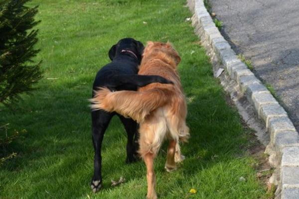 cani che si abbracciano con la coda