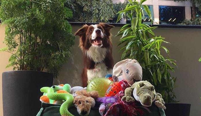 gaia border collie di genius dog challenge tra i cani più intelligenti