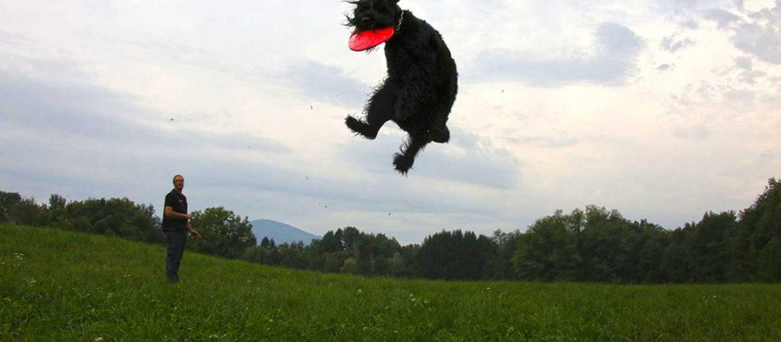 Riesenschnauzer che gioca a frisbee dell'allevamento dei Foschi Guardiani di Cristina Cini e Fosco Menichetti